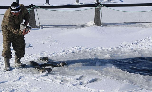 25 cm lik buzu kırarak balıkları besliyor