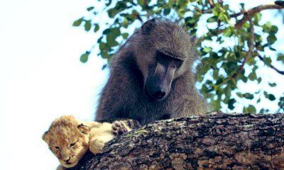 Disney filmi Aslan Kral gerçek oldu! Babun yavru aslanı kurtardı