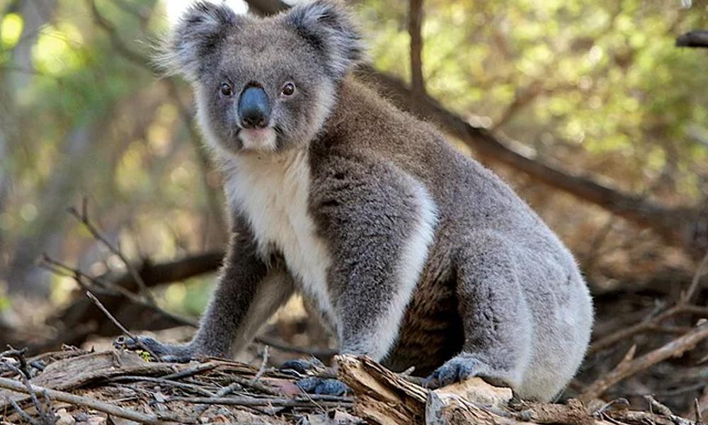 Onlarca koala kereste için katledildi