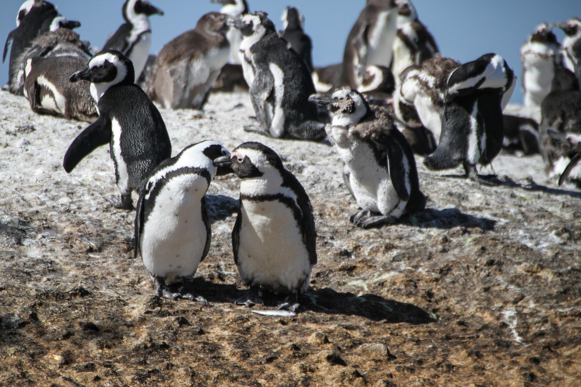 Penguenler ile insanların ortak özellikleri keşfedildi: Tek eşlilik, eşcinsellik…