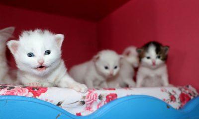 2020'nin ilk Van Kedisi yavruları dünyaya geldi