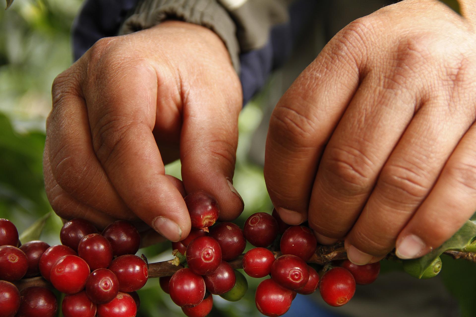 'Starbucks'ın tarlalarında, kahve parasından daha azına çocuk işçi çalıştırılıyor'