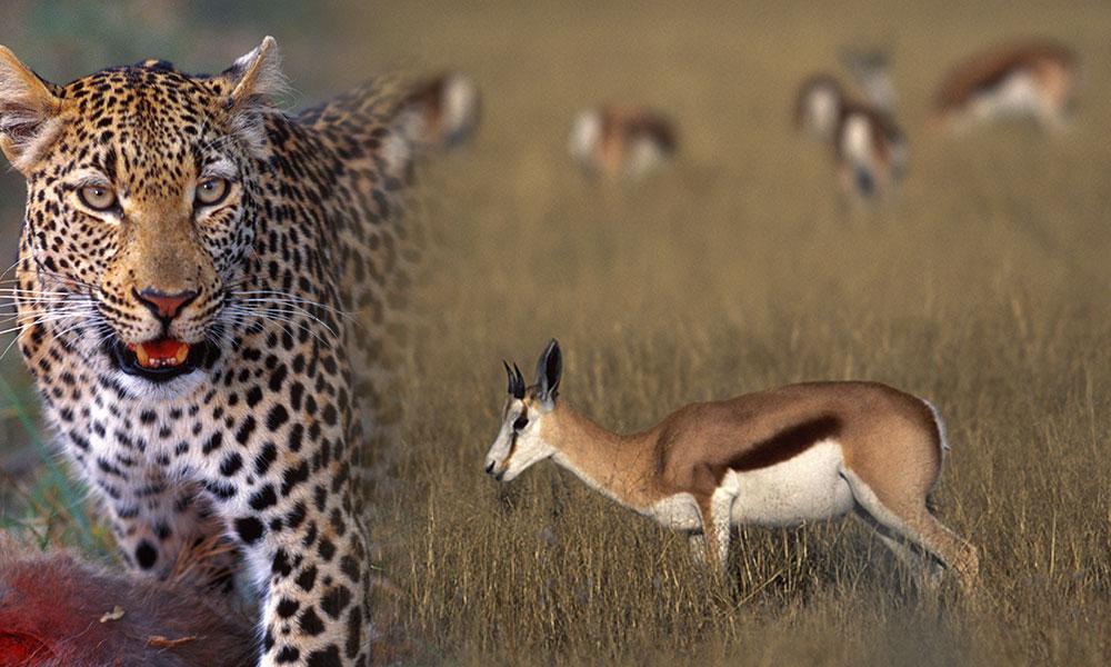 İlk defa duyduğunuz bir hayvan 'Springbok'… İşte Süha Derbent'in vahşi yaşam fotoğrafları