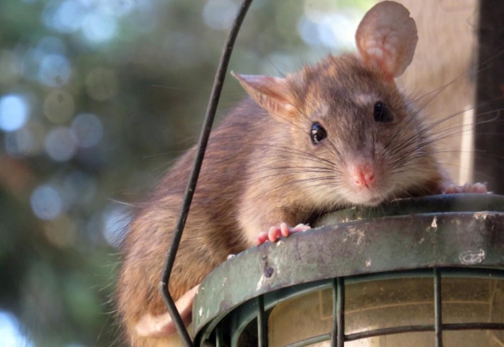 Sıçanlar da tıpkı insanlar gibi şehir hayatının stresiyle başa çıkmaya çalışıyor