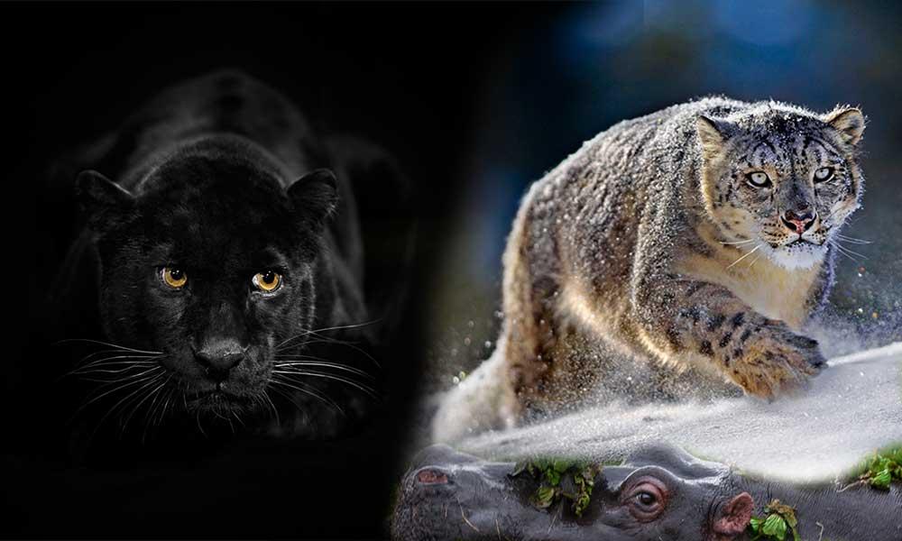 Siyah Leopar aslında siyah değildir, bizim öyle görmemizin sebebi… İşte Suha Derbent'in fotoğrafları