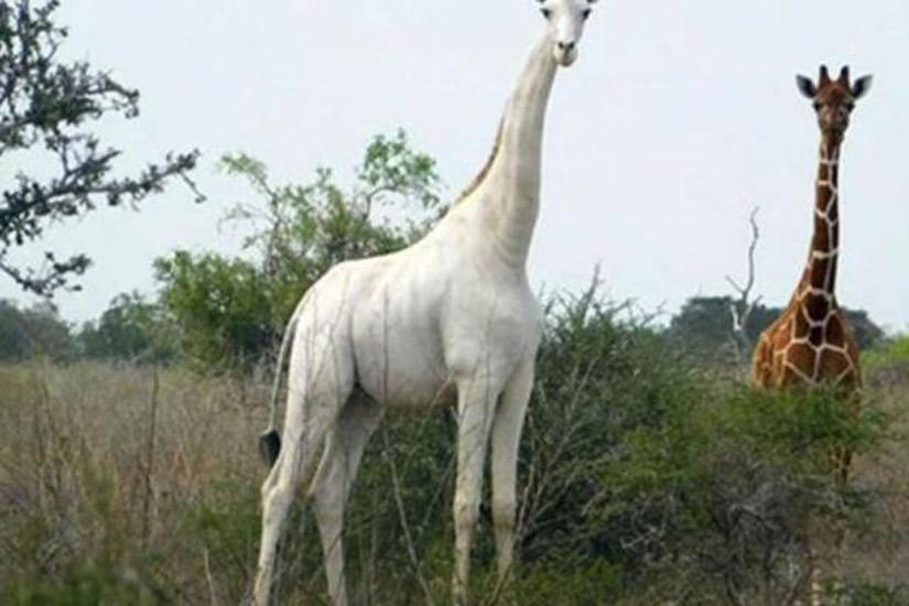 Dünyadaki son dişi beyaz zürafa öldürüldü!