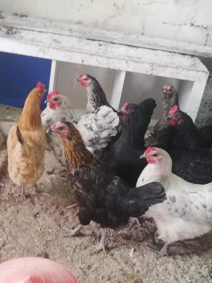 Çaldığı tavukları internetten satışa çıkarınca yakalandı