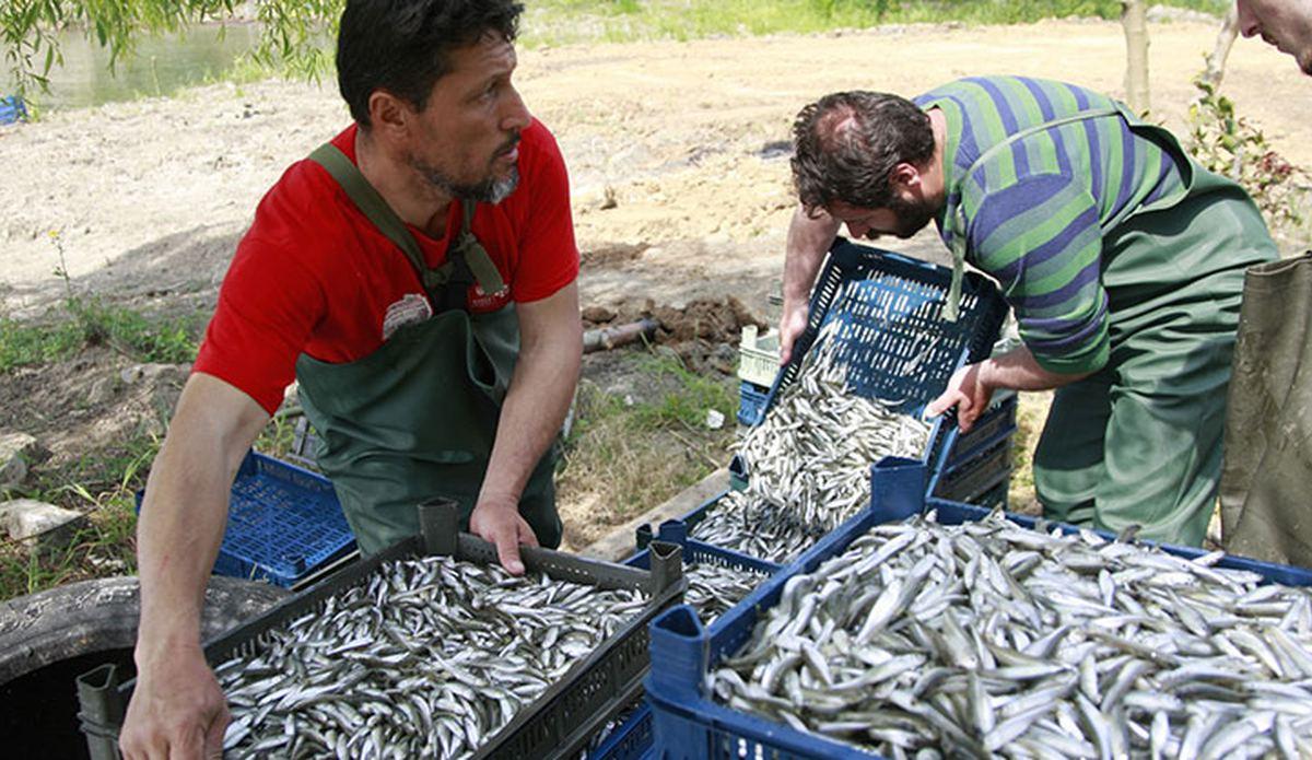 Koronavirüs salgını, gümüş balığı fiyatlarını da etkiledi