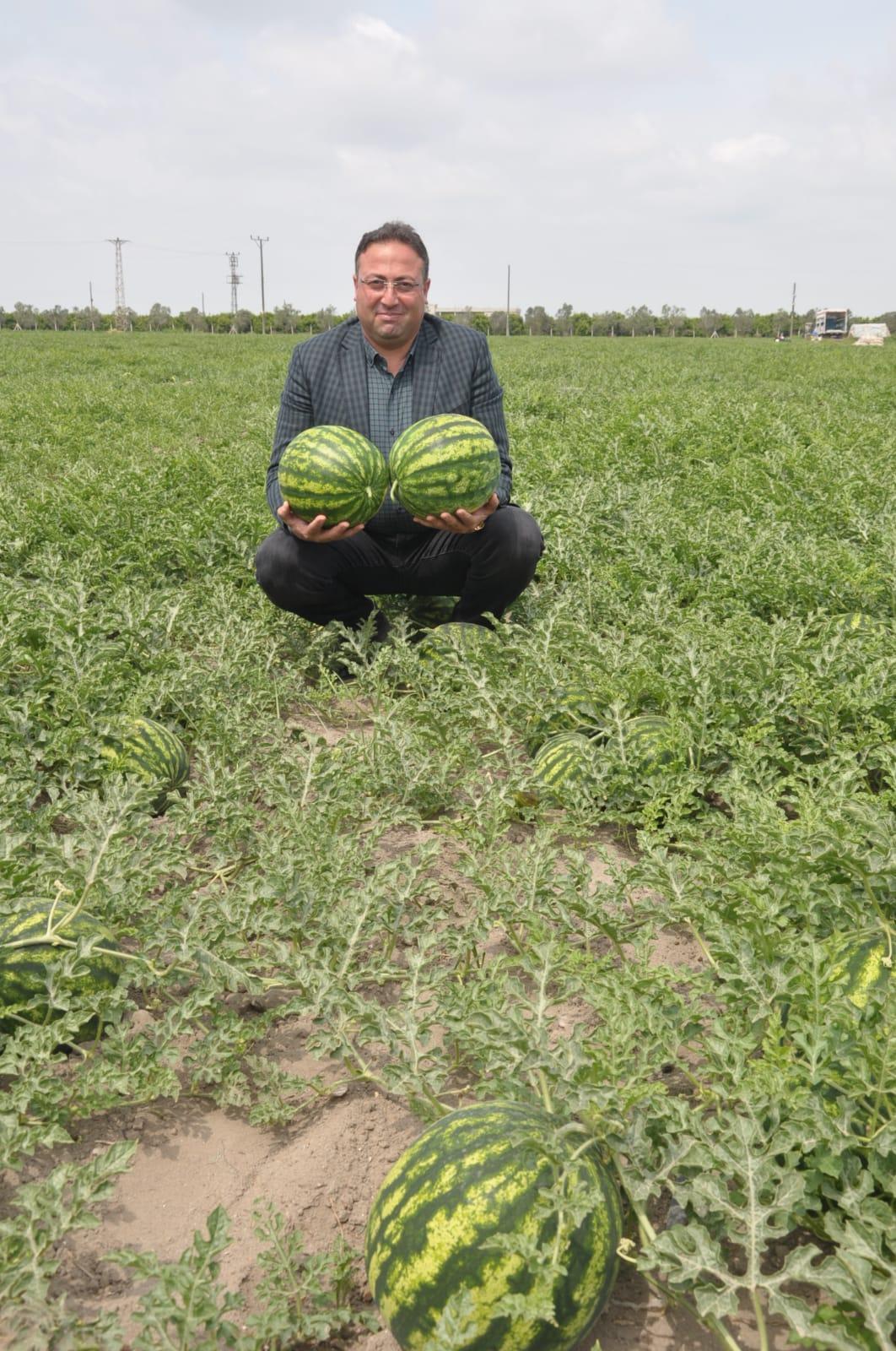 Tarsus'ta, açık alanda karpuz hasadı
