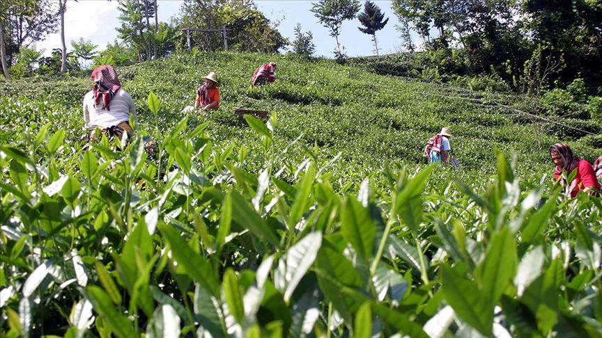 Karadeniz'de 4 valilikten çay hasadı tedbirleri