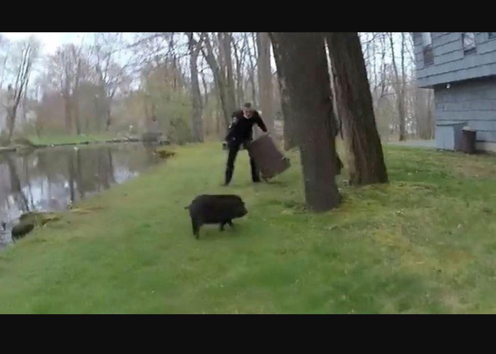 Polislerin domuzla mücadelesi kamerada