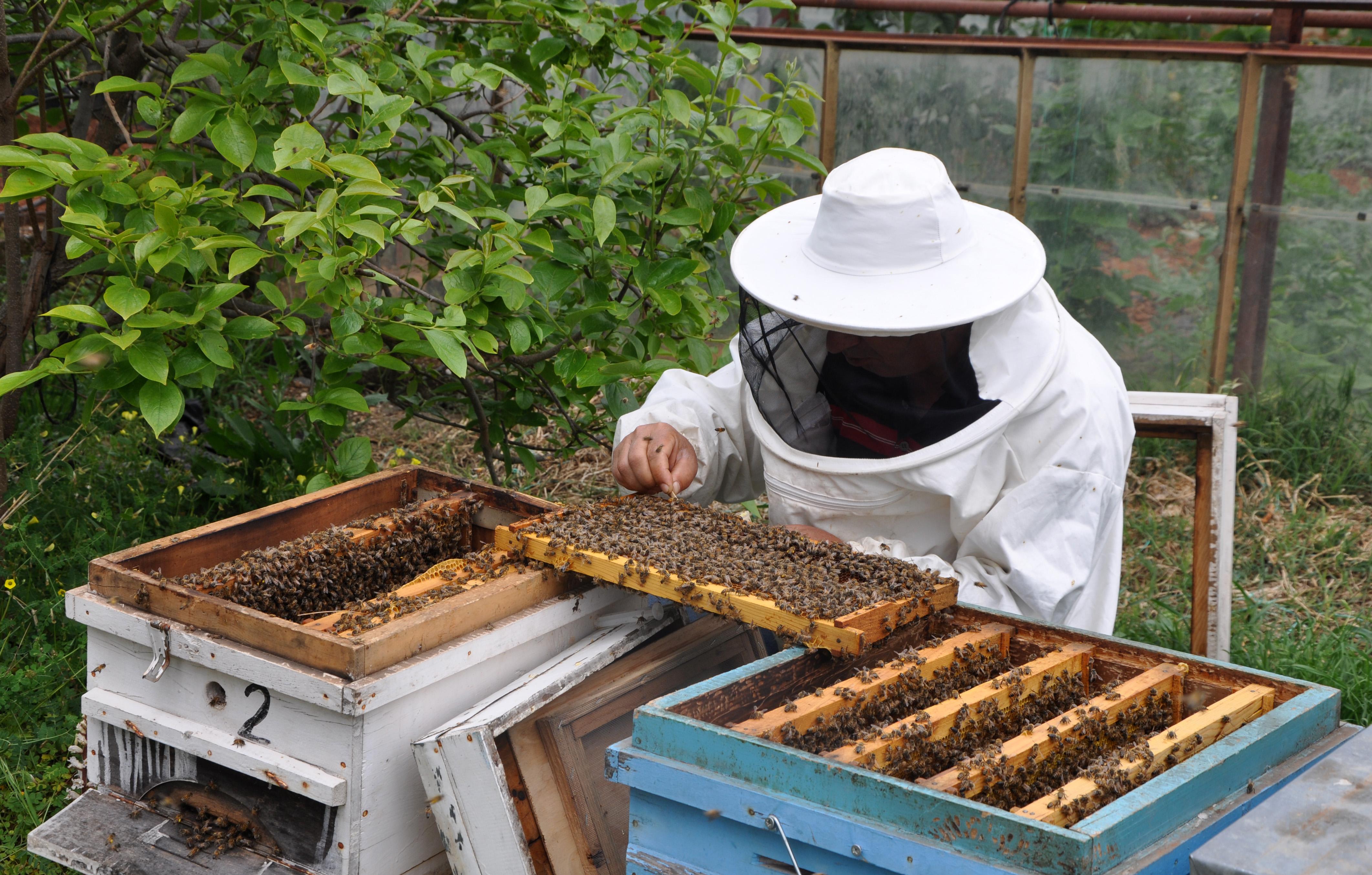 Zeytin ağacındaki arı kolonisi, kovana alındı