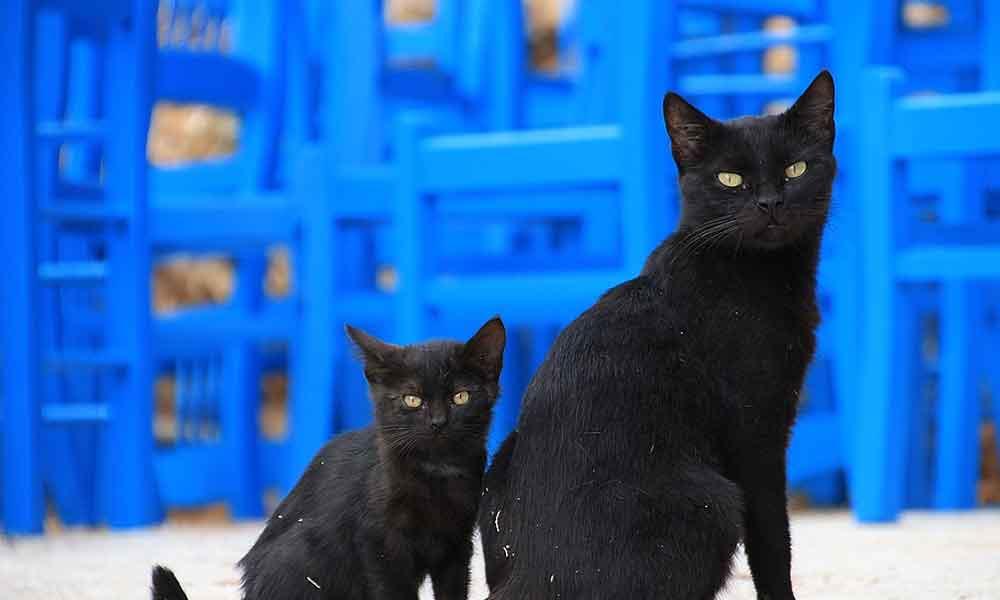 Korkunç iddia! Koronavirüs için siyah kedilerden macun yapıyorlar