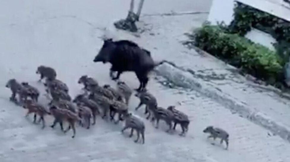 Marmaris'te domuz sürüsü sokağa indi