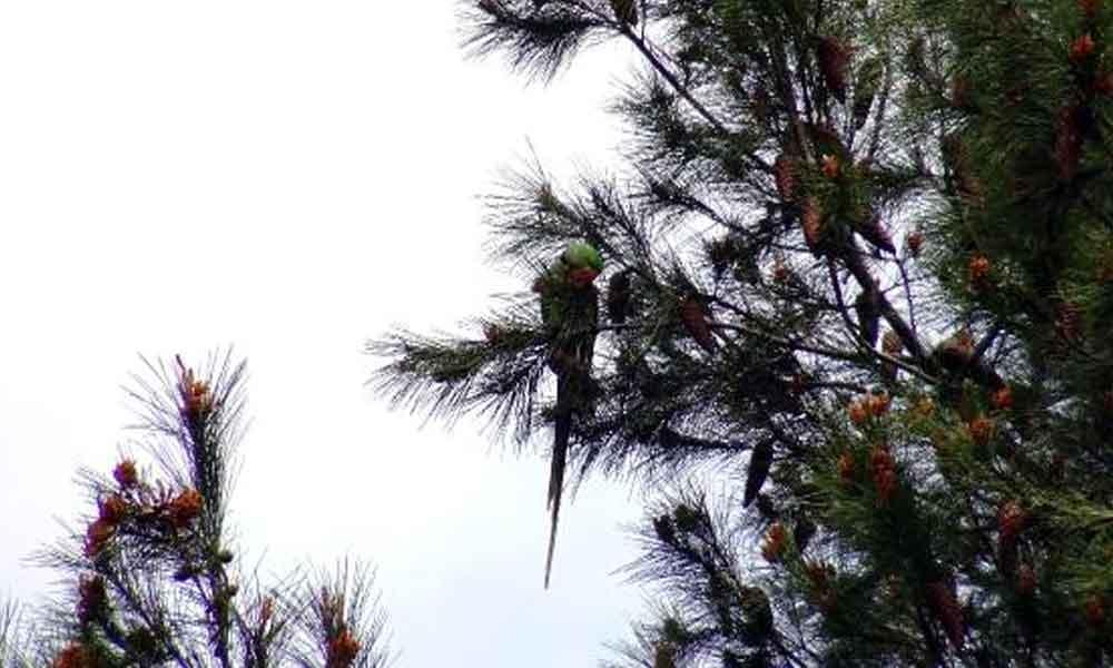 Görüntüler şaşkınlık yarattı… Avcılar'da ağaçlar papağanlarla doldu