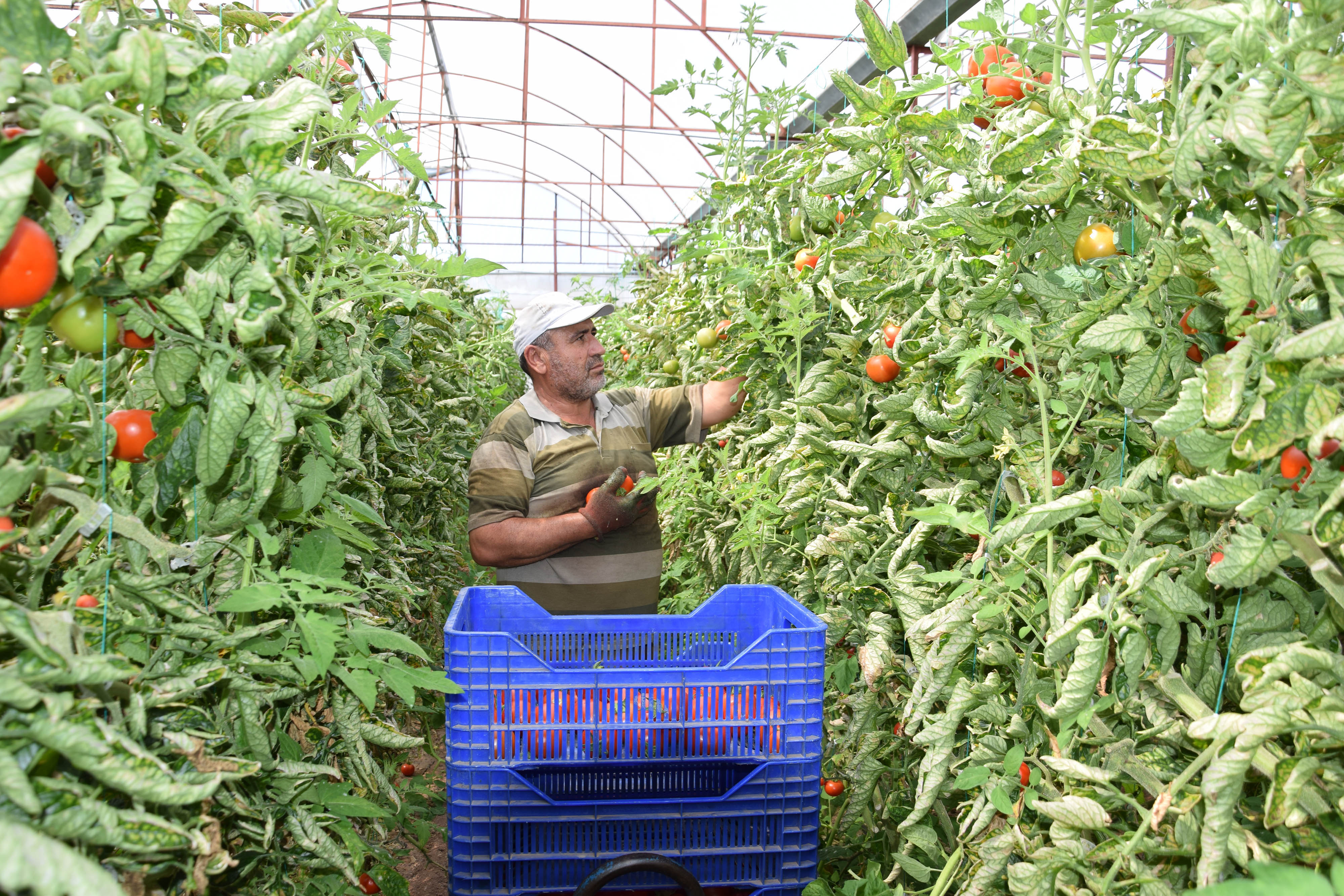 Çiftçi, bayramda da üretime devam etti