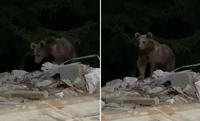 Dağlarda yiyecek bulamadıkları için ayılar merkeze kadar indi