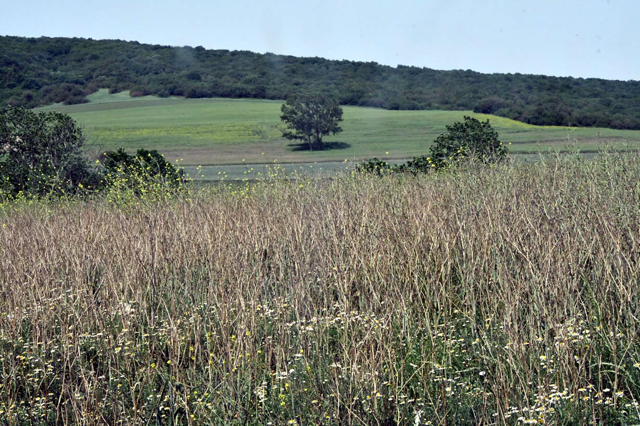 Trakya'da kanola tarlalarına 'yeşil tırtıl' istilası
