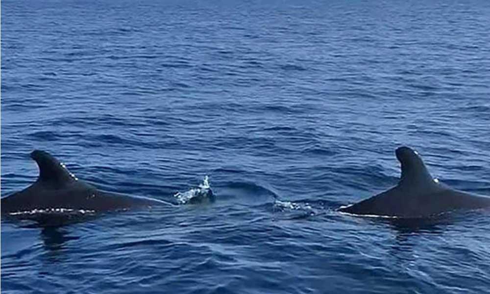 Yunuslardan sonra katil balinalar da geri döndü