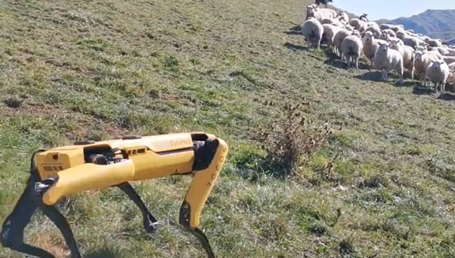 Robot köpek koyun sürüsüne çoban oldu
