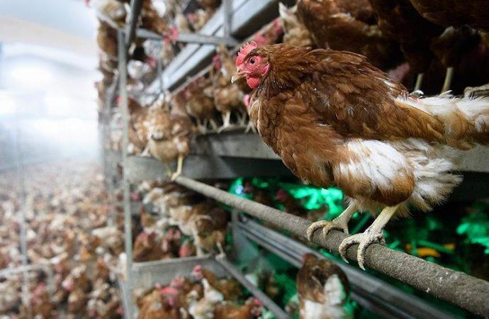 Binlerce hayvan öldürüldü! Kuş gribi geri döndü