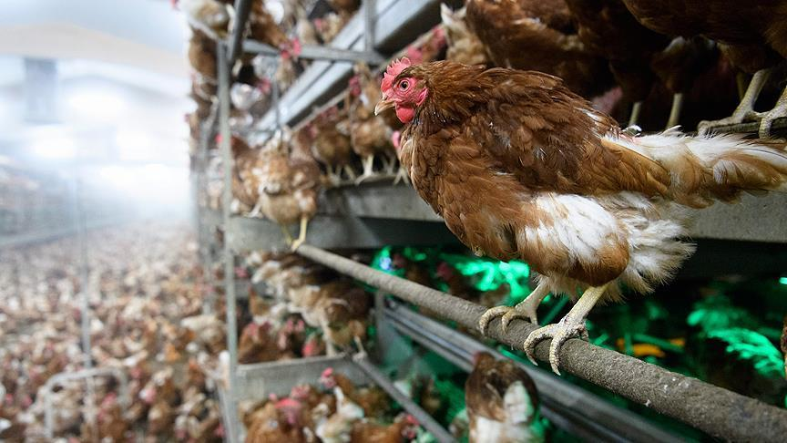 Sakarya'da 'kuş gribi' iddiası: 700 bin tavuk telef oldu