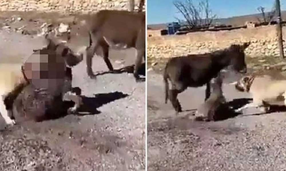 Köpeklerini sıpaya saldırtan Berat Kaya serbest bırakıldı, sosyal medya ayağa kalktı