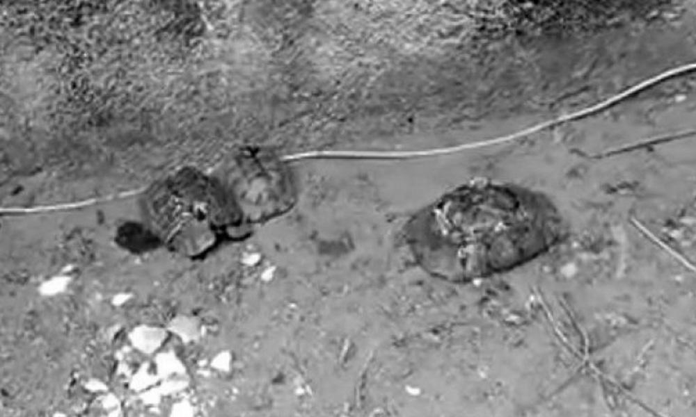 Vahşet! Kaplumbağaları taşla ezdiler!