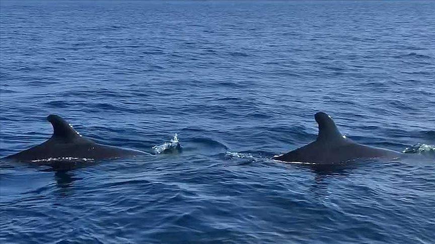 Yalancı katil balinalar Kuzey Ege'de ilk defa görüntülendi!