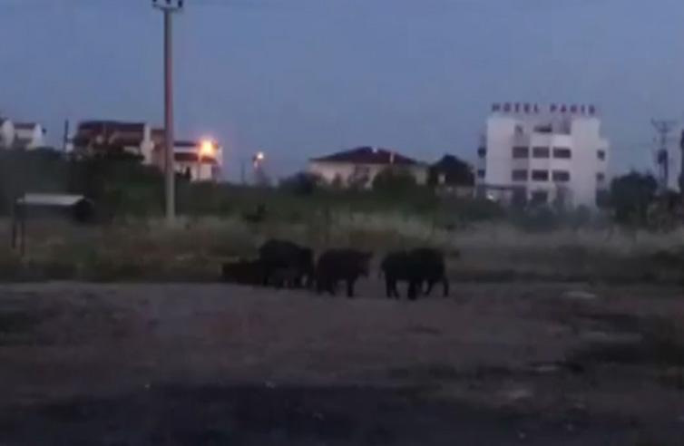 Aç kalan domuzlar Ayvalık ilçe merkezine indi