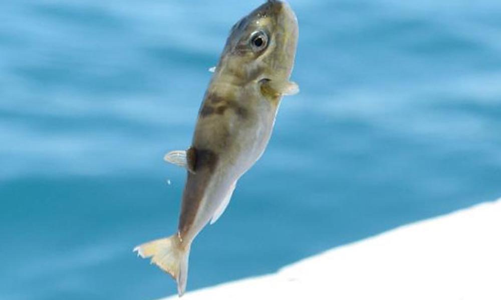 Akdeniz'de balon balığı tehlikesi! Tatilciler tedirgin…