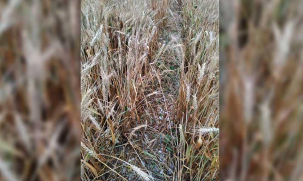 Trakya'da dolu buğdaylara zarar verdi