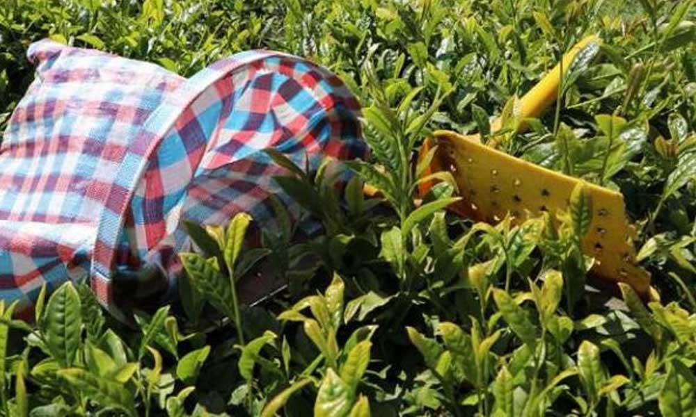 Çay hasadı öncesi vaka uyarısı