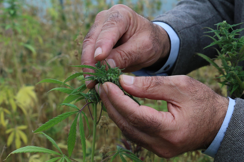 Kenevirde 2 yeni tür tohum üretildi