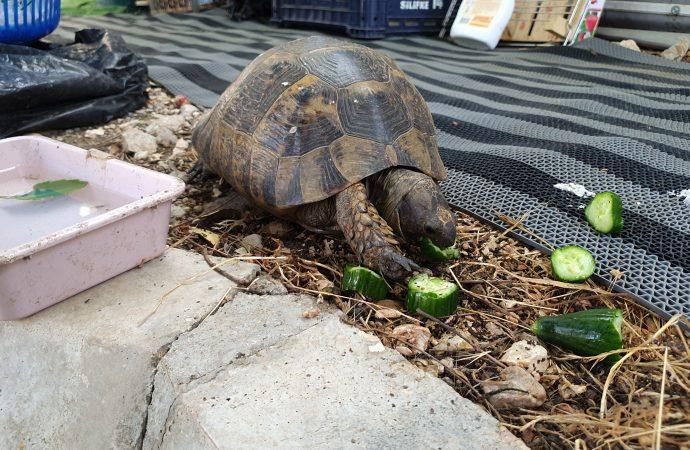 Tek ayağı olmayan kaplumbağa 'Tosbik'i kamptakiler sahiplendi - Tele1