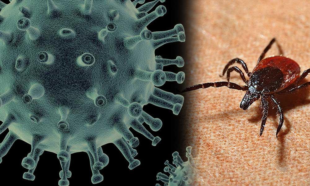 Koronavirüs Kene'yi çoğalttı