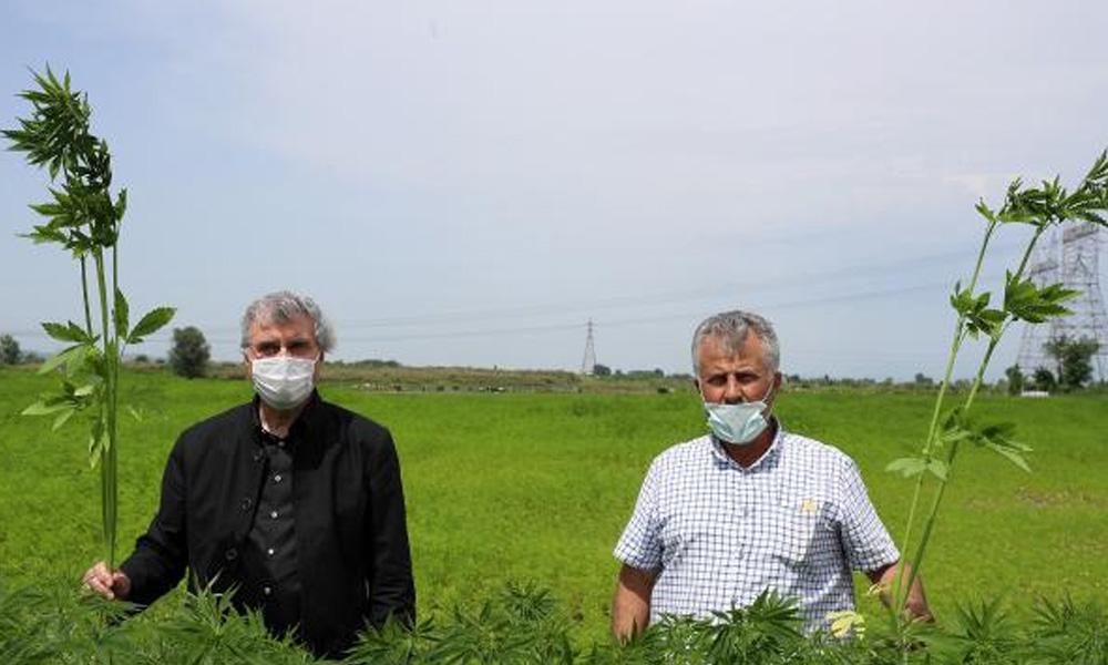 Sakarya'da belediyeden endüstriyel kenevir üretimi: İçici değil biçiciyiz