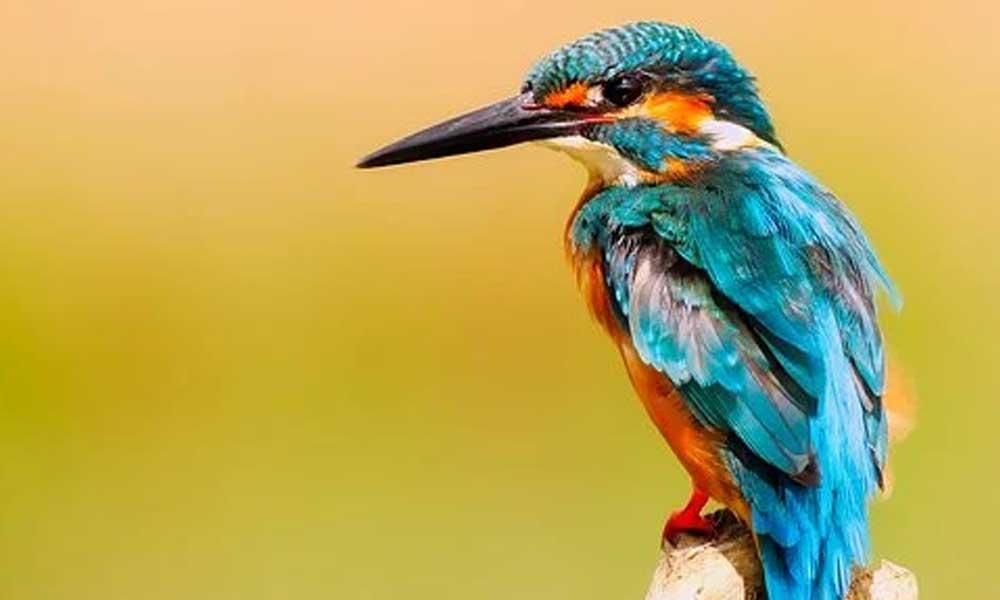 Kuşlar da insanlar gibi farklı lehçeler konuşabiliyor
