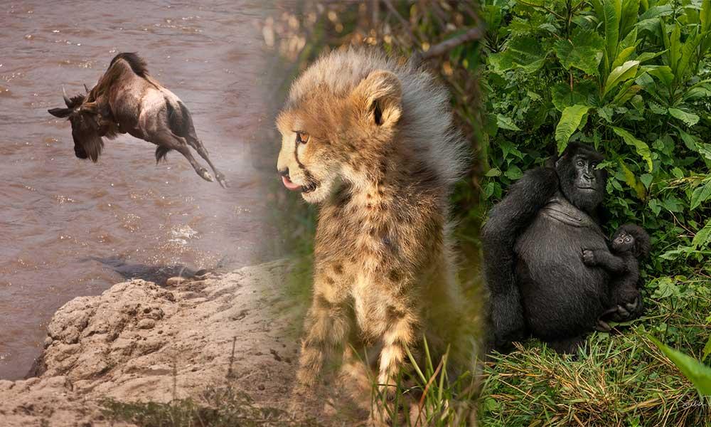 Etçillerin avı Wildebeest… Dağ Gorili yavruları 2 yaşına kadar anneleriyle yaşar! İşte Suha derbent'in fotoğrafları