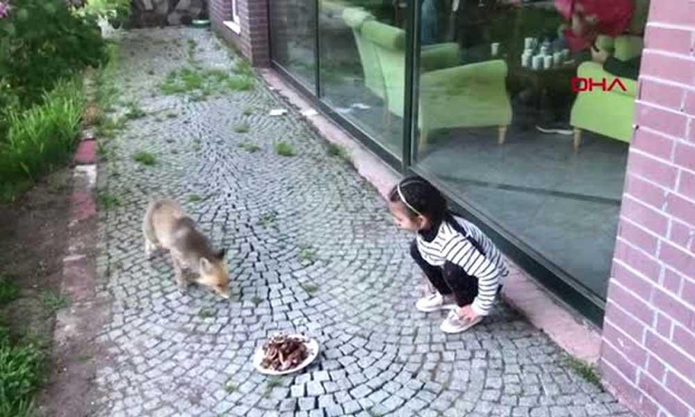 Küçük kız tilkiyi elleriyle besledi