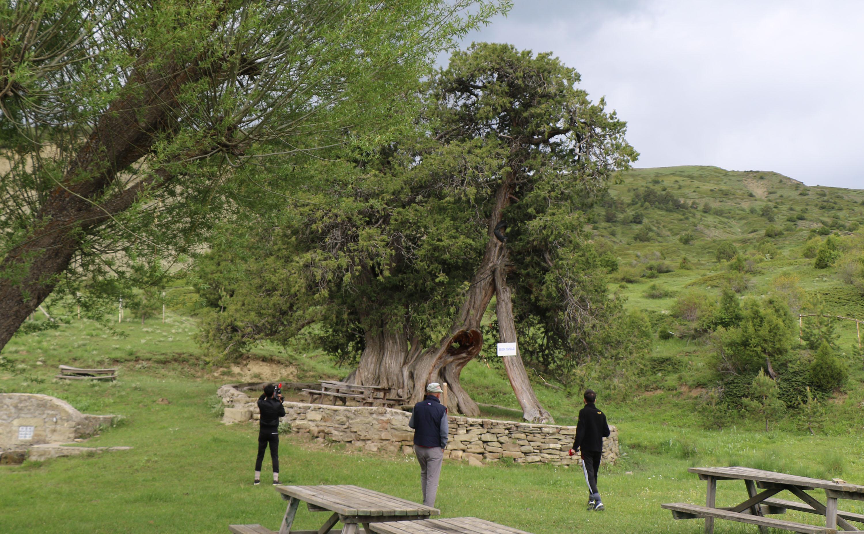 904 yıllık ardıç ağaçları zamana meydan okuyor