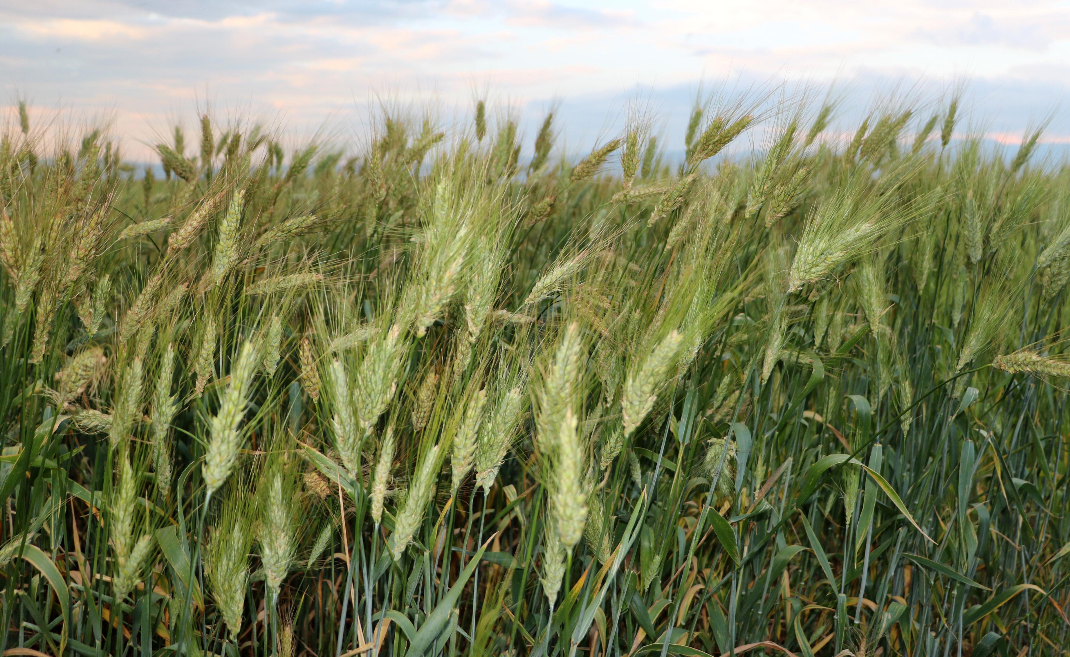 7 bin yıllık buğday tohumunu çoğaltmaya çalışıyor