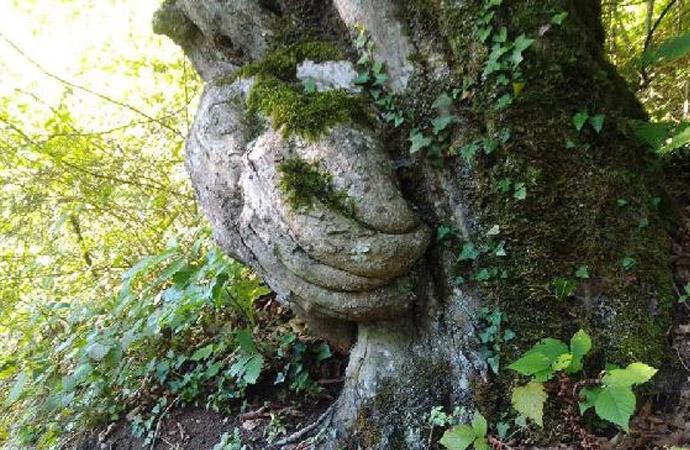 90 yıllık… Bu ağacı görenler şaşırıyor!