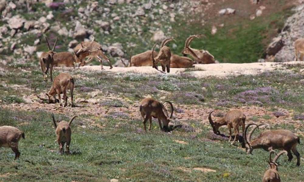 Bakanlık, Tunceli'de dağ keçileri 'avlatmak' için ihaleye çıktı!