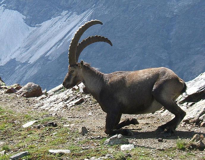 Bakanlıktan nesli tükenmekte olan dağ keçileri için katliam ihalesi!