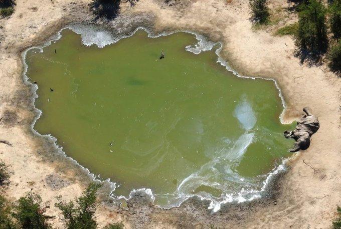 Botsvana'da 350 fil esrarengiz bir şekilde öldü