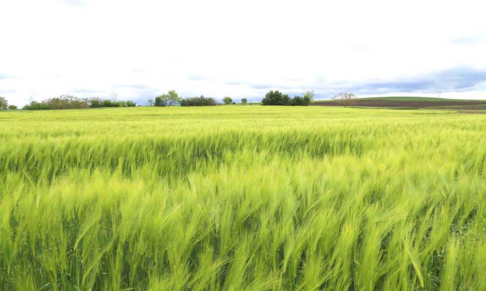 Edirne'de tarım arazileri yandı, çiftçi zor durumda