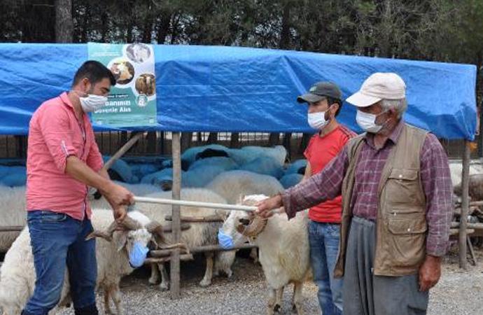 Koyunlara maske taktılar