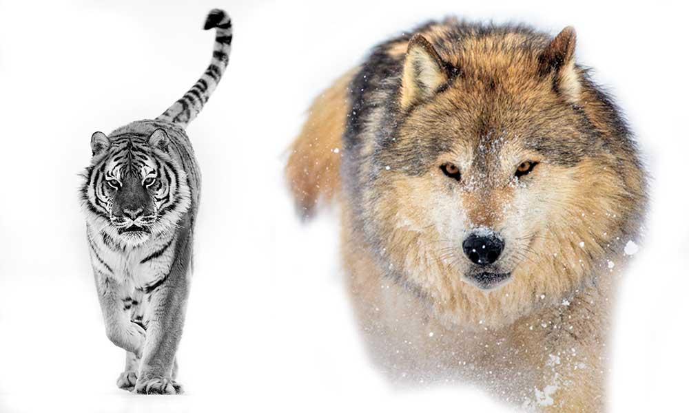 Kaplan kışın büyük avlar… Tüm köpeklerin tek atasıdır! İşte Süha Derbent'in fotoğrafları