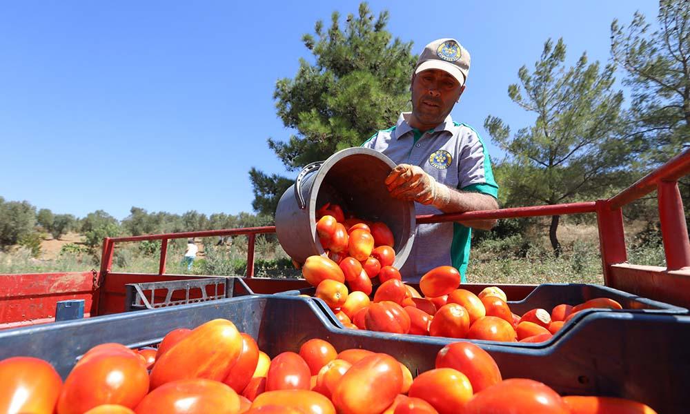 15 ton domates, biber, patlıcan Bucalının sofrasına girdi